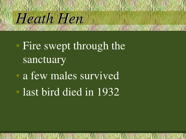 Heath Hen