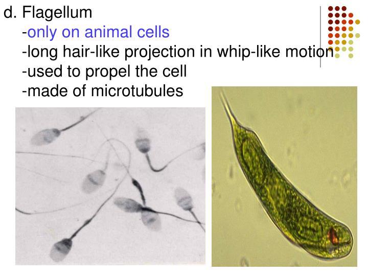 d. Flagellum