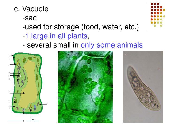 c. Vacuole