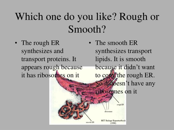 The rough ER synthesizes and transport proteins. It appears rough because it has ribosomes on it