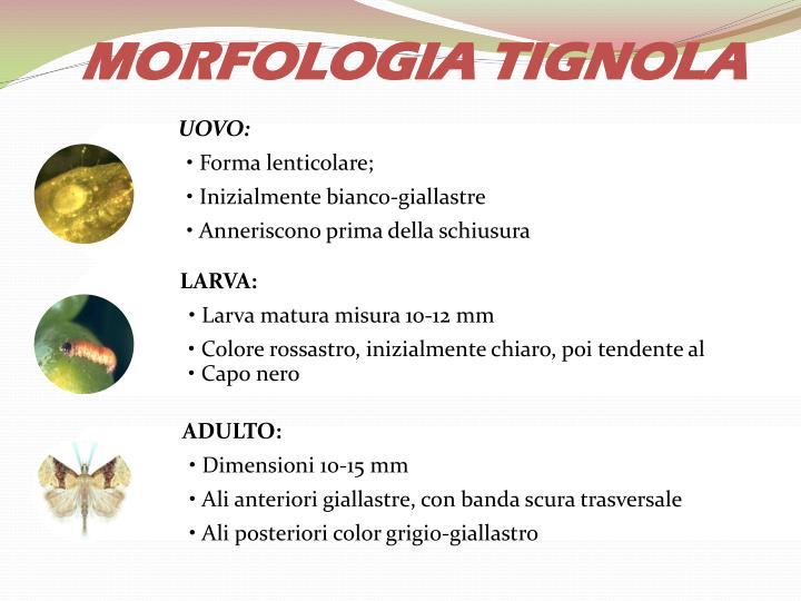 MORFOLOGIA TIGNOLA