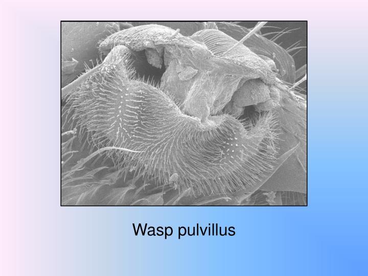 Wasp pulvillus