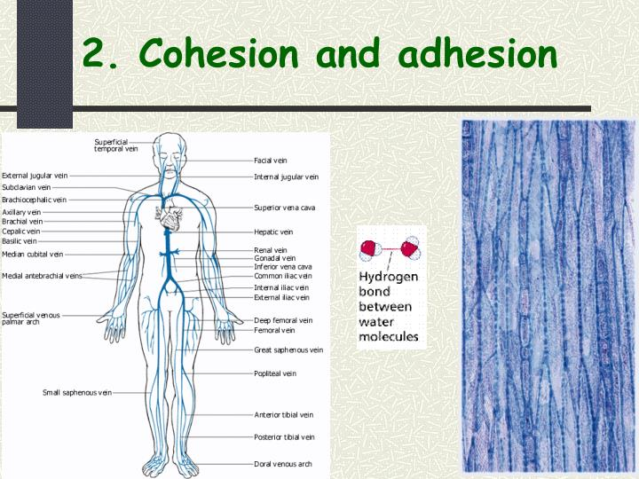 2. Cohesion and adhesion