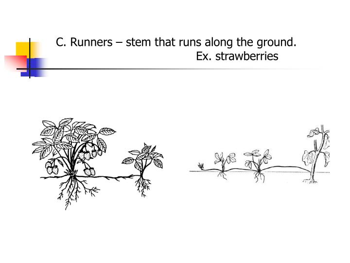 C. Runners – stem that runs along the ground. Ex. strawberries
