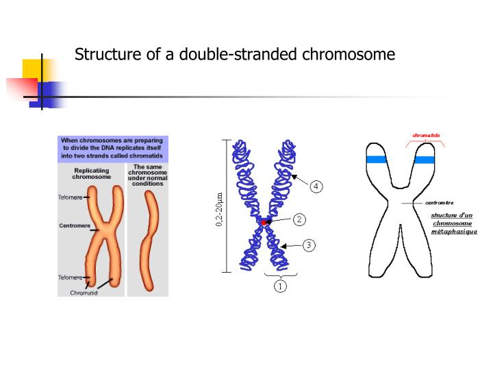 Structure of a double-stranded chromosome