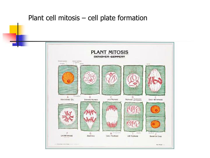 Plant cell mitosis – cell plate formation