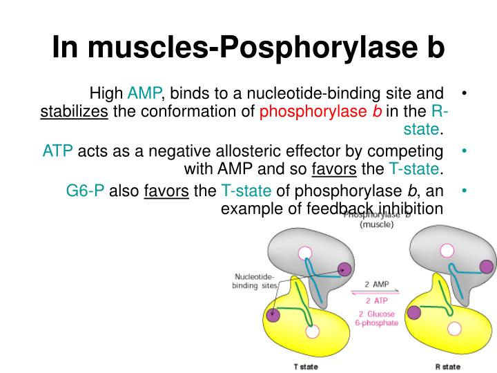 In muscles-Posphorylase b