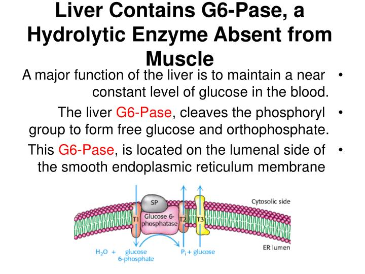 Liver Contains G6-Pase, a Hydrolytic Enzyme Absent from Muscle