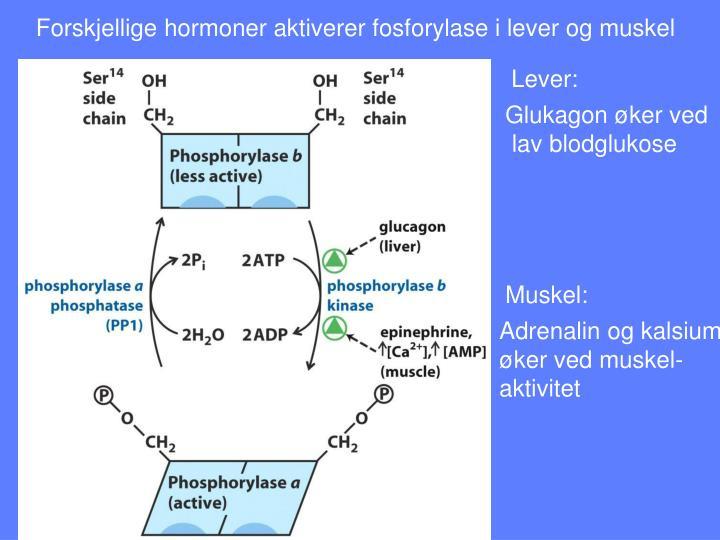 Forskjellige hormoner aktiverer fosforylase i lever og muskel