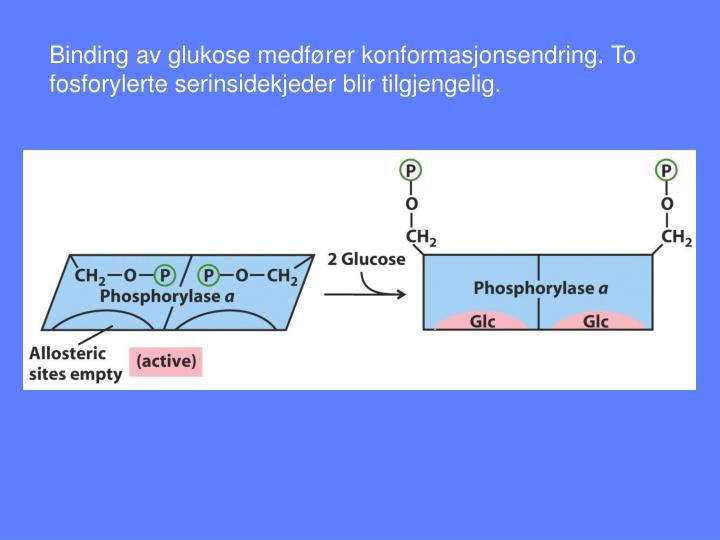 Binding av glukose medfører konformasjonsendring. To fosforylerte serinsidekjeder blir tilgjengelig.