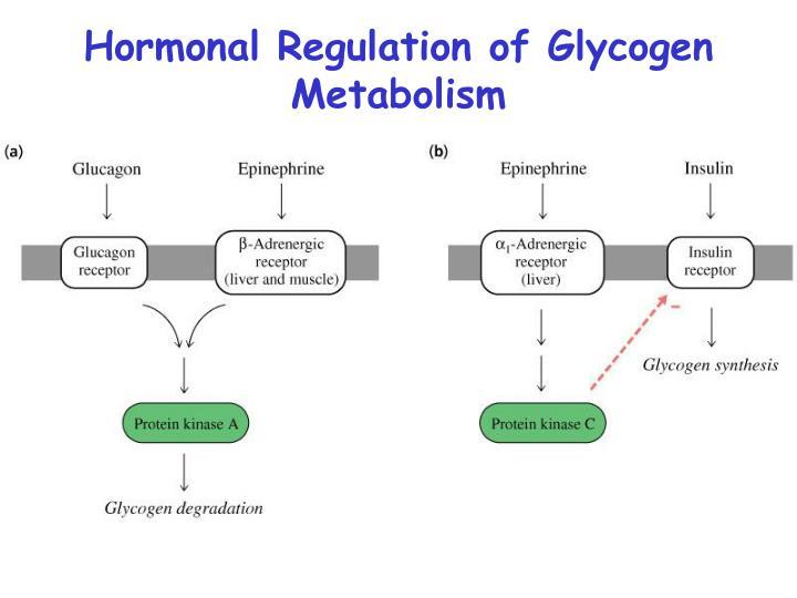 Hormonal Regulation of Glycogen Metabolism