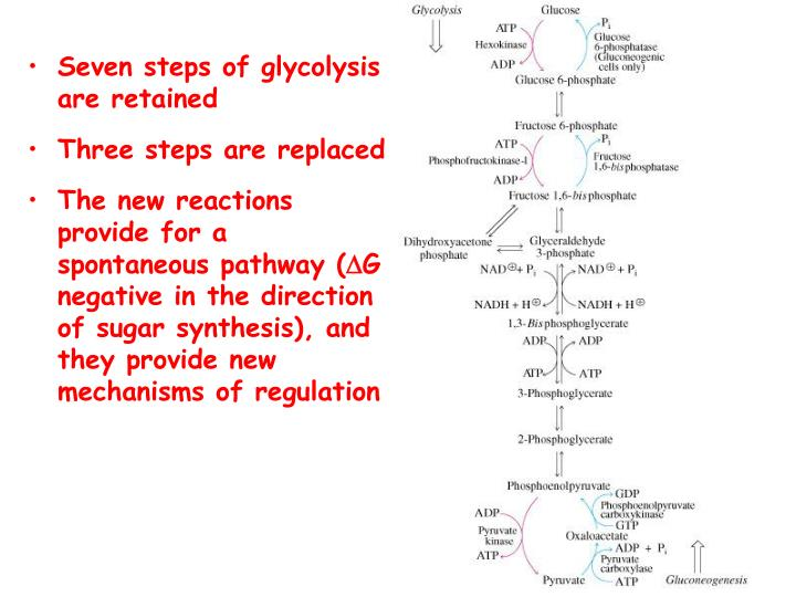 Seven steps of glycolysis are retained