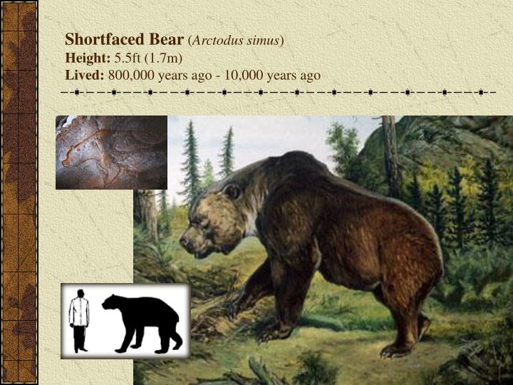 Shortfaced Bear
