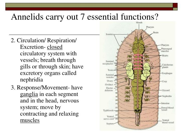 Annelids carry out 7 essential functions?