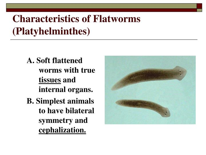Characteristics of Flatworms (Platyhelminthes)