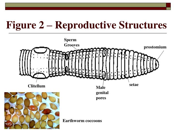 Figure 2 – Reproductive Structures