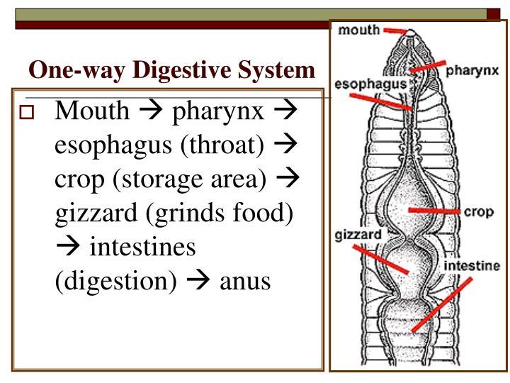 One-way Digestive System