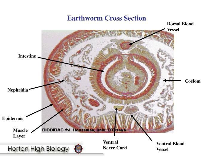 Earthworm Cross Section