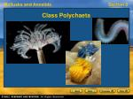 class polychaeta