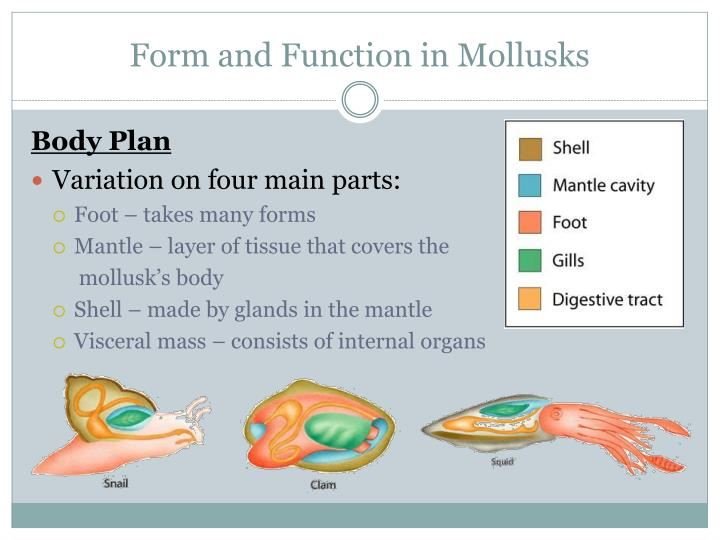Form and Function in Mollusks