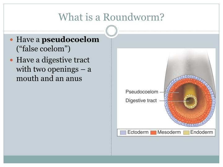 What is a Roundworm?