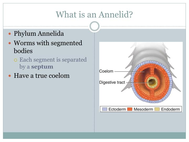 What is an Annelid?