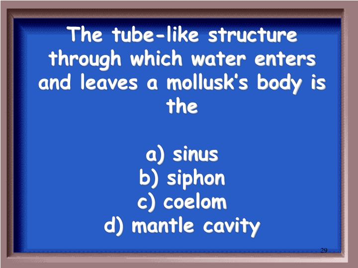 The tube-like structure through which water enters and leaves a mollusk's body is the