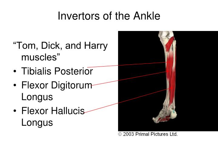 Invertors of the Ankle