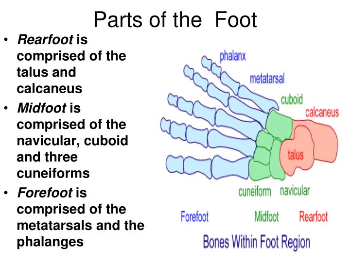 Parts of the  Foot