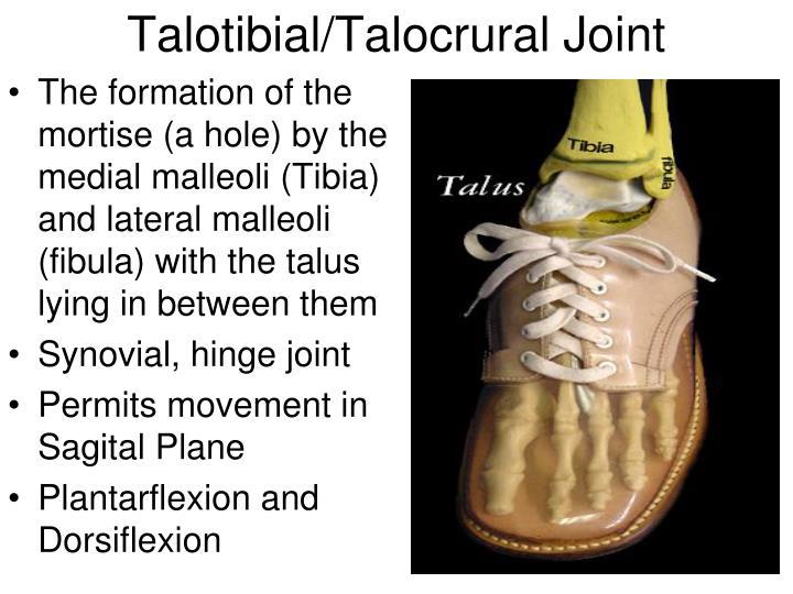 Talotibial/Talocrural Joint