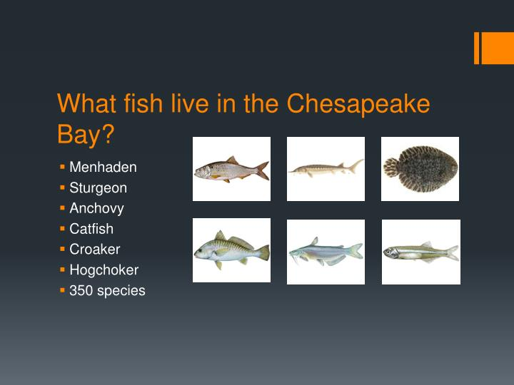 What fish live in the Chesapeake Bay?