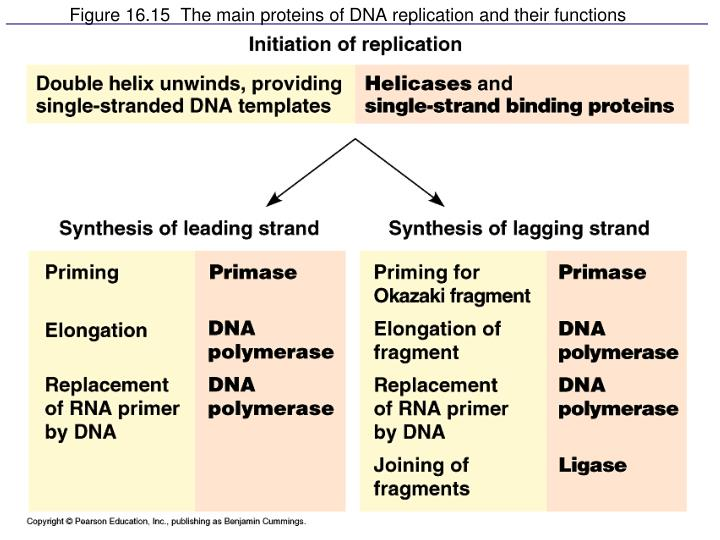 Figure 16.15  The main proteins of DNA replication and their functions