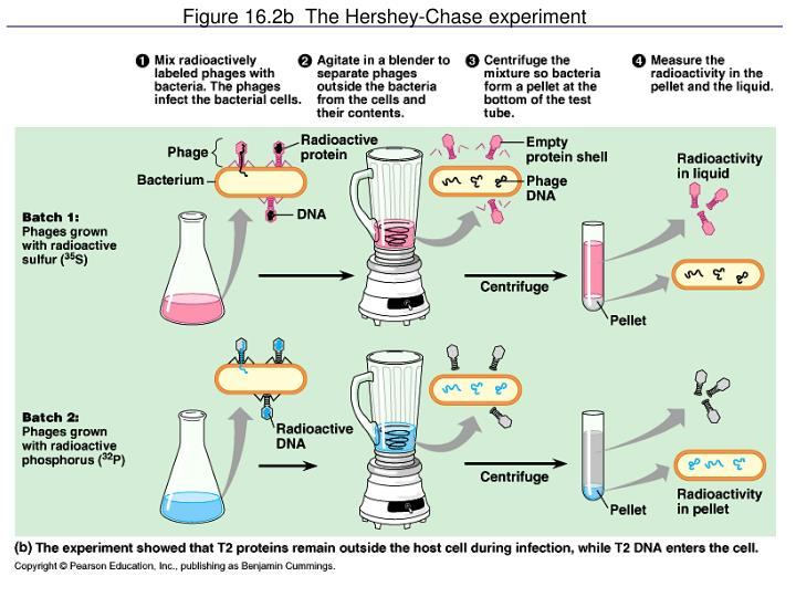 Figure 16.2b  The Hershey-Chase experiment