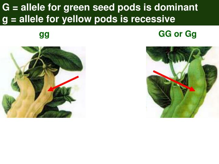 G = allele for green seed pods is dominant                   g = allele for yellow pods is recessive