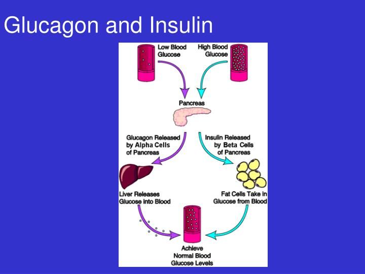Glucagon and Insulin