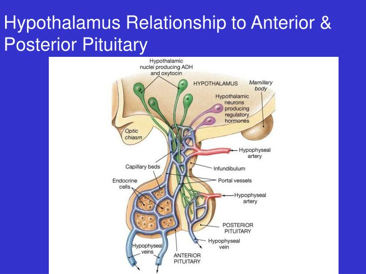 Hypothalamus Relationship to Anterior & Posterior Pituitary