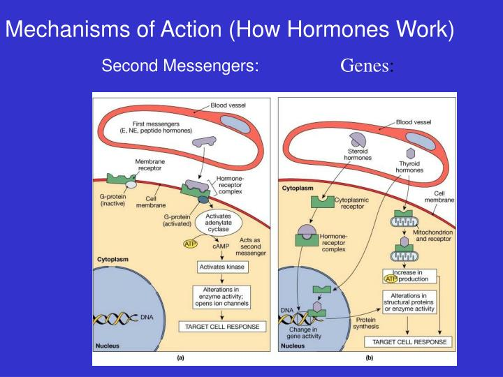Mechanisms of Action (How Hormones Work)