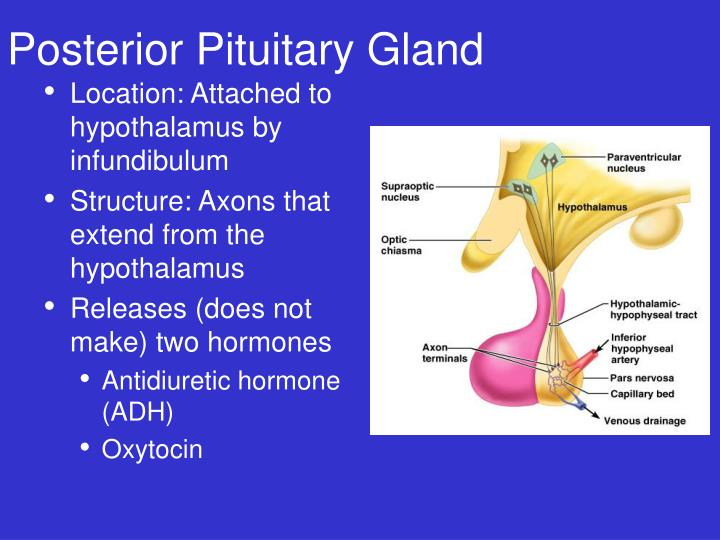 Posterior Pituitary Gland