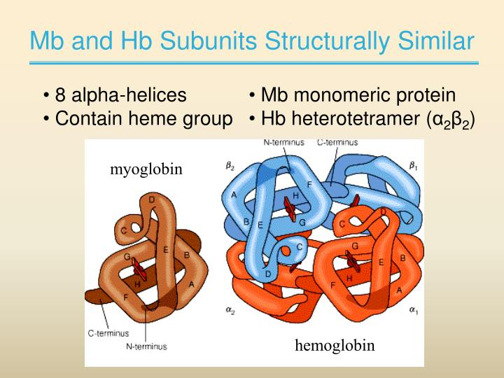 Mb and Hb Subunits Structurally Similar