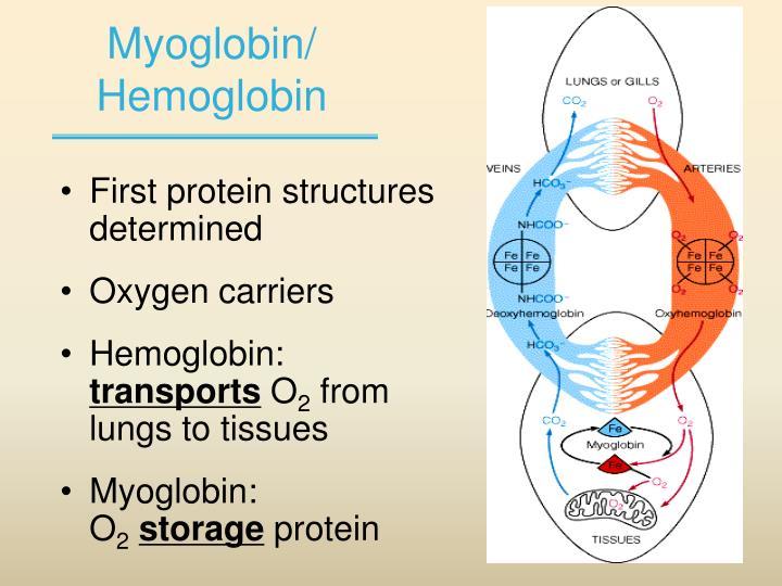 Myoglobin/