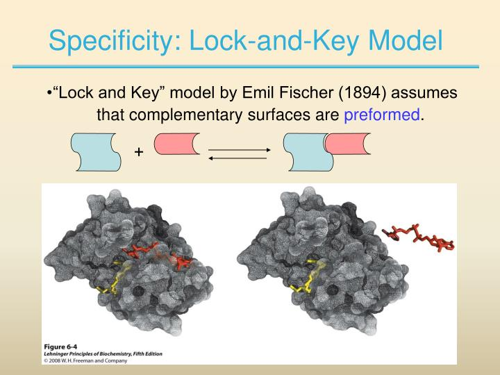 Specificity: Lock-and-Key Model