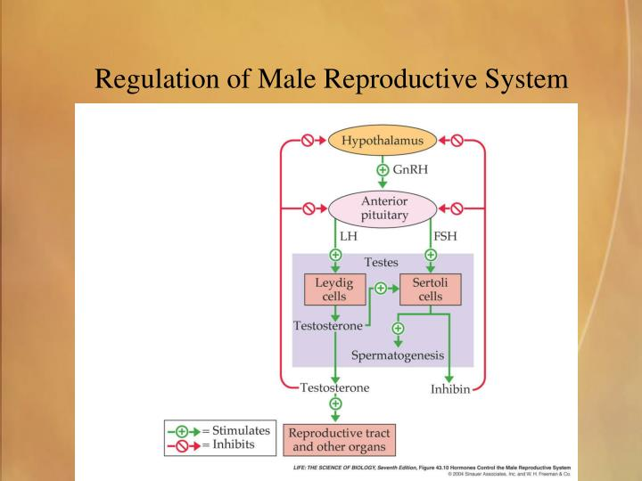 Regulation of Male Reproductive System