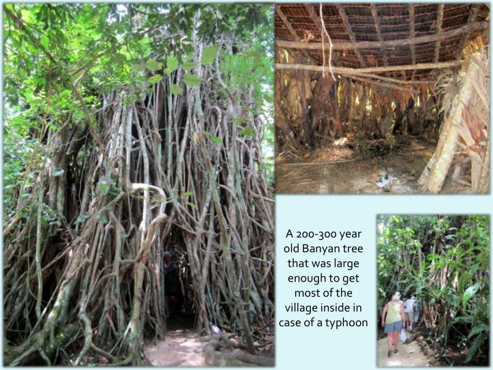 A 200-300 year old Banyan tree that was large enough to get
