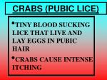 crabs pubic lice