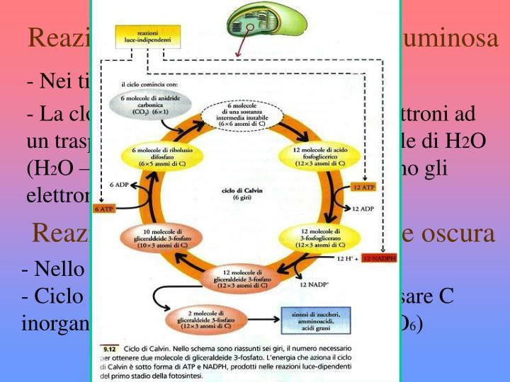 Reazione luce dipendenti o fase luminosa