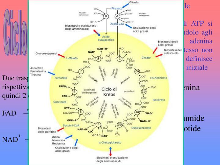 ·Avviene nella matrice mitocondriale