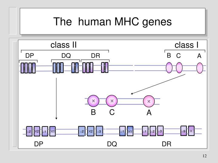 The  human MHC genes