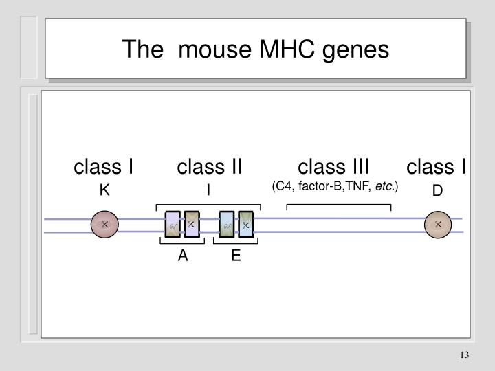 The  mouse MHC genes