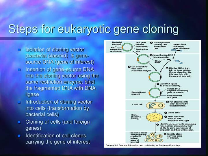 Steps for eukaryotic gene cloning