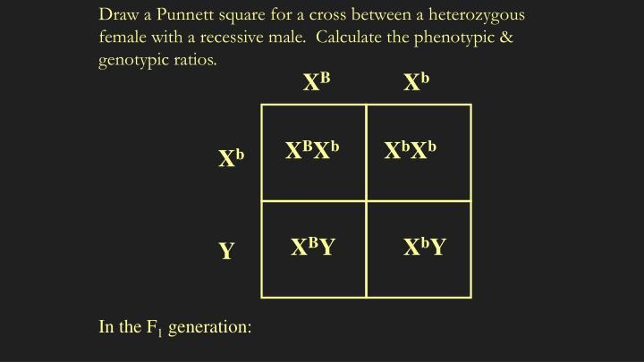 Draw a Punnett square for a cross between a heterozygous female with a recessive male.  Calculate the phenotypic & genotypic ratios.